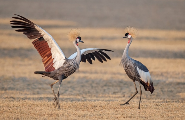 Dance of the Crowned Cranes