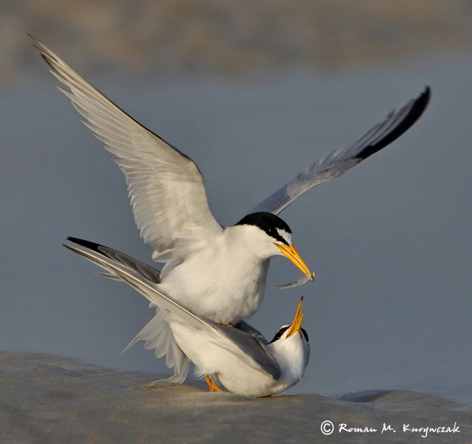 Courting Terns