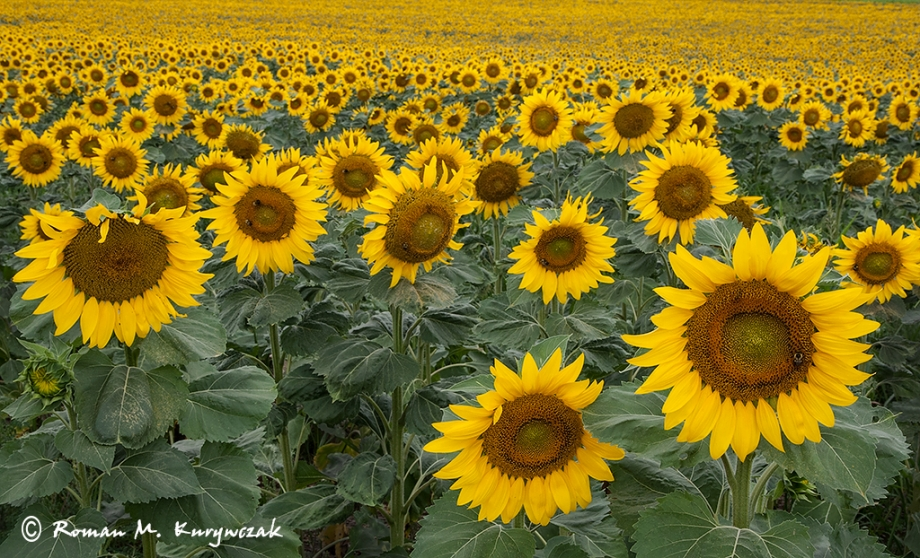 In the Sunflower Field